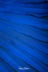 Sampson (ToddLahman) Tags: sampson blue hyacinth macaw bluehyacinthmacaw bird birds beautiful outdoors male sandiegozoosafaripark safaripark canon7dmkii canon canon100400 escondido