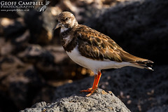 Ruddy Turnstone (Arenaria interpres) (gcampbellphoto) Tags: arenariainterpres turnstone lanzarote wader shorebird bird avian nature gcampbellphoto wildlife outdoor animal rock beach