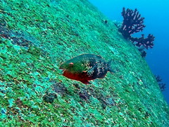Parrotfish (markb120) Tags: animal fauna fish coral water sea underwater diving scuba