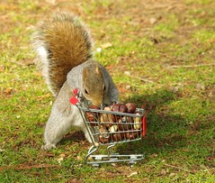 Squirrel with shopping cart (12) (Simon Dell Photography) Tags: winter spring grey animal nature together wildlife sheffield botanical gardens simon dell photography 2018 feb 24 with trolley shopping cart cute funny awesome mini micro full nuts
