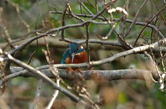 endcliffe park kingfisher sheffield 2018 (9) (Simon Dell Photography) Tags: endcliffe park bingham whitley woods forge dam kingfisher bird rare blue orange winter spring grey animal nature together wildlife sheffield botanical gardens simon dell photography 2018 feb 24 sunny detail high res perched sitting fishing