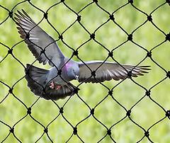 pigeon safety net bangalore (birdnetting1) Tags: how get rid pigeons bird netting bangalore balcony safety nets pigeon net