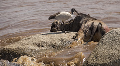 Easy pickings (JoCo Knoop) Tags: tanzania serengeti marariver