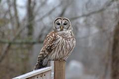 Barred Owl by Jeremy Teague (teaguejj) Tags: lbl barred owl jeremy teague trigg