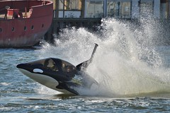 Seabreacher Killer Whale (86) @ Royal Victoria Dock 25-02-18 (AJBC_1) Tags: royalvictoriadock rvd londonboroughofnewham newham customhouse eastlondon royaldocks londonsroyaldocks london england unitedkingdom uk greatbritain gb predatoradventures seabreacherwatercraft killerwhale submersiblespeedboat thrillride adrenalinerush touristattraction visitorattraction nikond3200 ajbc1 ©ajc dlrblog water boat watercraft vessel speedonwater speed splash makingwaves motion seabreachery spray killerwhalespeedboat
