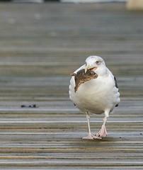 Gull Dinner Transportable (Jaedde & Sis) Tags: måge seagull food fish catch pregamewinner gamewinner