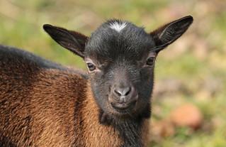 goat Hoenderdaell BB2A4802