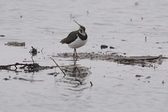 Northern Lapwing (Vanellus vanellus) (Common Buzzard) Tags: essex rainham rspb birds waders plovers lapwing water