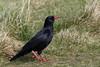 Red-billed Chough (Chris B@rlow) Tags: pyrrhocoraxpyrrhocorax chough redbilled red redbilledchough crow corvid bird birds wildlife nature heysham lancashire canon7dmarkii sigma150600sport grass field