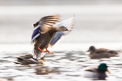 Pan (brendon_curtis) Tags: canon 7dmkii eos usm 500mm f4l is super telephoto lens mallard birds bird avian flight nature natural water lake droplets