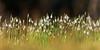 Snowdrops, Warley Place (pstani) Tags: brentwood england essex essexwildlifetrust europe greatbritain warley warleyplace wildlifetrust flora flower plant snowdrop