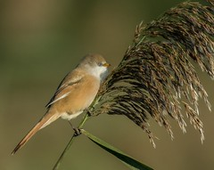 Bearded Tit female (hardy-gjK) Tags: birds vögel oiseaux hardy nikon tit meise bartmeise female