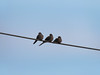 Birds on Wire (amaxphoto) Tags: balance birds wire telephonewires electricwires 3 doves winter