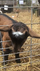 Split Creek Farm (Kristina_Hernandez) Tags: babygoats splitcreekfarm yeahthatgreenville kiddingaroundgreenville kids family goats goatfarm