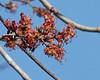 Red Maple (Acer rubrum) (Mary Keim) Tags: taxonomy:binomial=acerrubrum centralflorida marykeim orlandowetlandspark floridanativewildflowers