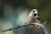Grosbec casse-noyaux. Hawfinch (parman31) Tags: grosbeccassenoyaux coccothraustescoccothraustes hawfinch passériformes fringillidés