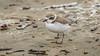 Snowy Plover (Bob Gunderson) Tags: birds california charadriusalexandrinus northerncalifornia oceanbeach plovers sanfrancisco shorebirds snowyplover
