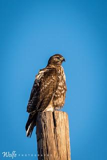 Cooper hawk watches sunset