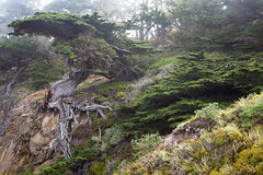 Old Man (Scriblerus) Tags: tree pointlobos california mist montereybay