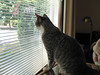 It's a Big World Out There (PDX Bailey) Tags: pet cat window feline gray grey tabby glass inside outside blinds