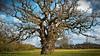 I do loves a gnarly oak! (nerd.bird) Tags: oak tree landscape grass field