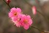 IMG_1622 (okiee8125) Tags: 梅の花