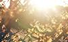 Let's Pretend... (Lala Lands) Tags: hamamelisintermediapalida wtichhazel witchhazel yellowwitchhazel yellowspringflower februaryflowers letspretenditsnotgoingtosnowonfriday wintersunset thelightthelight bokeh shallowdof sunflare nikkor105mmf28 nikond7200