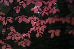 River Bridge (Tony Pulokas) Tags: rogueriver forest oldgrowth oregon autumn fall tilt sunset tree dogwood pacificdogwood californiadogwood westerndogwood cornus leaf twilight