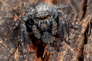Big Jumping Spider with gum hopper tucker