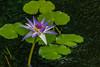 Lotosblume (he-photogrphy) Tags: lotosblume botanischer garten