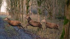Crossing the road ... (Alex Verweij) Tags: oostvaardersplassen almere wild edelhert edelherten rennen hollen running crossing oversteken alex verweij alexverweij stag gewei male deer
