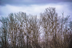 2018 - photo 027 of 365 - eagles at Sheffield Mills, Nova Scotia (old_hippy1948) Tags: eagles roost