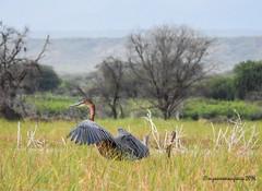05012016-DSCN2285 (suzanne.mongrain) Tags: 2016 afrique baringo bogoria kenya lacbaringe oiseau