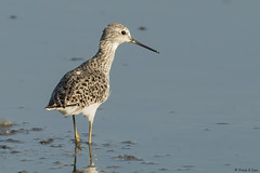 # Marsh Sandpiper........... (Prem K Dev) Tags: marsh sandpiper sml sholinganallur beautiful bird pose wader water white wildlife wonderful light lake golden chennai colourful india nature avian