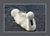 KNOBBELZWAAN (FotoRoelie.nl) Tags: watervogels knobbelzwaan zwanen
