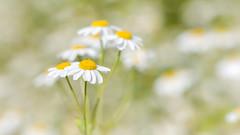 Feverfew (paulapics2) Tags: daisy feverfew plant medicinal garden summer canoneos5dmarkiii sigma105mmf28exdgoshsmmacro flora depthoffield bokeh