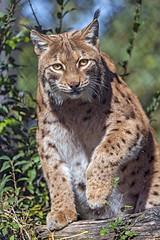 Lynx getting up (Tambako the Jaguar) Tags: lynx big wild cat portrait gettingup paw tree branch log vegetation leaves tierparkgoldau zoo switzerland nikon d5