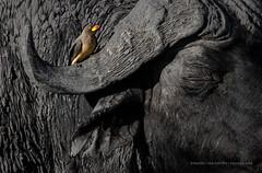 Beauty and the Beast (Marsel van Oosten) Tags: africa botswana safari bird oxpecker avian wildlife wild horn capebuffalo ungulate big5 bigfive perch phototour workshop