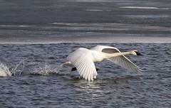 Trumpeter Swan takeoff. (Nkwali) Tags: flight flying lesliestreetspit northamericanbird toronto trumpeterswan