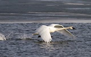 Trumpeter Swan takeoff.