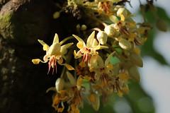 Theobroma cacao  カカオ (ashitaka-f studio k2) Tags: flower yellow red theobroma cacao カカオ アオイ科 malvaceae