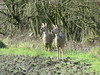 Roe Deer over the Flashes. (stevencarruthers93) Tags: wigan wiganflashes greenheart nature wildlife winterwatch photography outdoors winter canon canonphotography