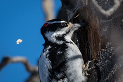 Hairy Woodpecker (airboy123) Tags: hairy woodpecker
