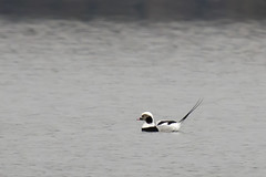 Long-tailed Ducks - Clangula hyemalis (Dave Boltz) Tags: birds virginia outdoors nature wildlife canon7dmarkii lakefrederick waterfowl clangulahyemalis duck longtailed frederickcounty longtailedduck