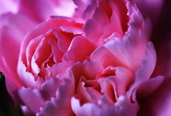 DSC_8822 Carnation (PeaTJay) Tags: nikond750 sigma reading lowerearley berkshire macro micro closeups gardens indoors nature flora fauna plants flowers carnation carnations