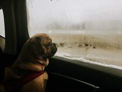 Dog Dienstag (tinto) Tags: puglife pugle dog cute puppy window car tintography iphone6 parker parkerthepuggle
