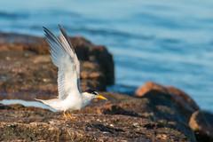 Least Tern (mattbpics) Tags: canon 70d tamron 150600 150600mm longbeach stratford tern leasttern shorebird