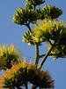 Agave flowers in Carrillo, Costa Rica (albatz) Tags: agave flowers bloom carrillo costarica cactus succulent