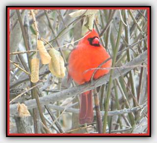 Male Cardinal Keeping Warm