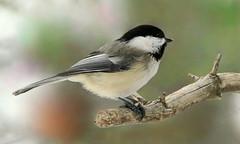 Mésange (Marie-Helene Levesque) Tags: oiseau abitibi valdor loft côtede100pieds mariehélène mariehelene